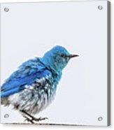 Bluebird Dances A Spring Jig Acrylic Print