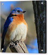Bluebird Evening Acrylic Print