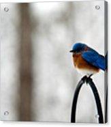 Bluebird Fluffed Acrylic Print