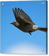 Bluebird Glide Acrylic Print