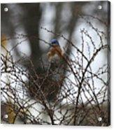 Bluebird In Briars Acrylic Print
