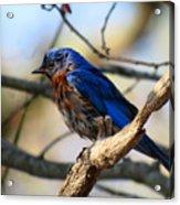 Bluebird In May Acrylic Print