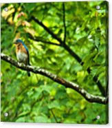 Bluebird Looking About Acrylic Print