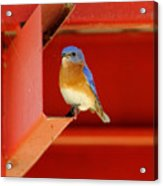 Bluebird On Red Acrylic Print
