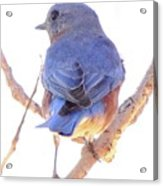 Bluebird On White Acrylic Print