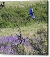 Bluebird Pair In Blickleton Acrylic Print