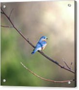 Bluebird Perched On A Tree Branch In The Sunlight Acrylic Print