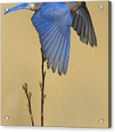 Bluebird Takes Flight Acrylic Print