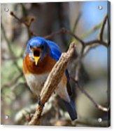 Bluebird Temper Acrylic Print