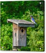 Bluebird With Grub Acrylic Print
