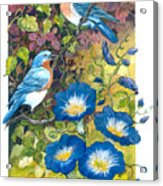 Bluebirds And Morning Glories Acrylic Print