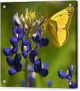 Bluebonnet And Butterfly Acrylic Print