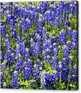 Bluebonnet Blues Acrylic Print