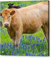 Bluebonnet Cow Acrylic Print