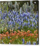 Bluebonnet Paintbrush And Prickly Pear Acrylic Print