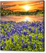 Bluebonnet Sunset  Acrylic Print