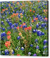 Bluebonnets And Paintbrushes 3 - Texas Acrylic Print