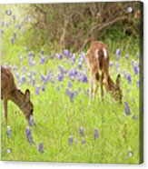Bluebonnets And Whitetails Acrylic Print