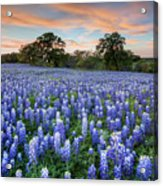 Bluebonnets On A Spring Evening 403-1 Acrylic Print