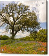 Bluebonnets Paintbrush And An Old Oak Tree - Texas Hill Country Acrylic Print