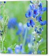 Bluebonnets Acrylic Print
