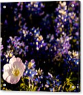 Bluebonnets With Buttercup Acrylic Print