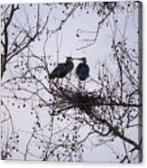 Blueherron Mating Time Acrylic Print