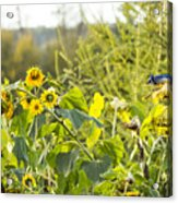 Bluejay And Sunflowers Acrylic Print