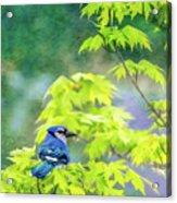 Bluejay Acrylic Print