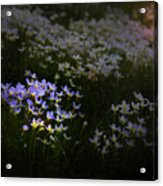 Bluets In Momentary Light Acrylic Print