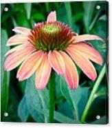 Blush Coneflower Acrylic Print