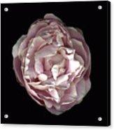 Blush Peony Acrylic Print