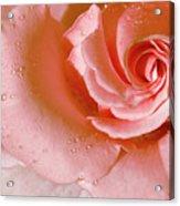 Blush Pink Rose Acrylic Print