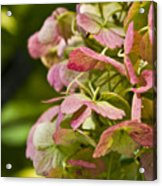 Blushing Hydrangea Acrylic Print