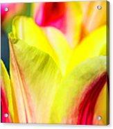 Blushing Lady Tulips Acrylic Print
