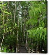 Boardwalk Through The Bald Cypress Strand Acrylic Print