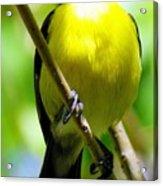 Boastful Bird Acrylic Print