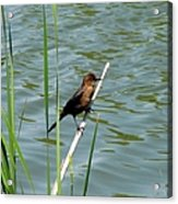 Boat Tailed Grackle Female Acrylic Print