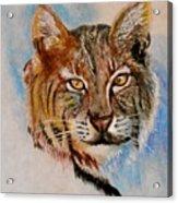 Bob Cat Acrylic Print by Jean Ann Curry Hess
