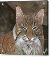 Bob Cat Acrylic Print