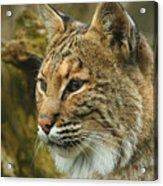 Bobcat Acrylic Print by Dick Wood