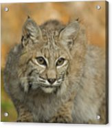 Bobcat Felis Rufus Acrylic Print by Grambo Photography and Design Inc.