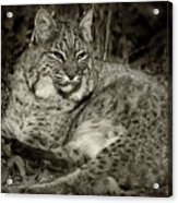 Bobcat In Black And White Acrylic Print