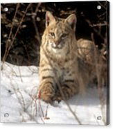 Bobcat In The Snow. Acrylic Print