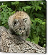 Bobcat Kitten Exploration Acrylic Print by Sandra Bronstein