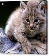 Bobcat Kitten Acrylic Print