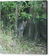 Bobcat In The Everglades Acrylic Print