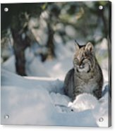 Bobcat Lynx Rufus Adult Resting In Snow Acrylic Print by Michael Quinton