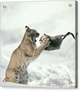 Bobcat Lynx Rufus Capturing Muskrat Acrylic Print by Michael Quinton