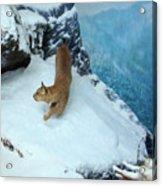 Bobcat On A Mountain Ledge Acrylic Print